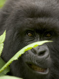 Mountain Gorilla (Gorilla Gorilla Berengei)Showing Teeth  with Leaves