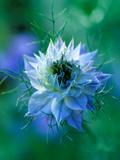 Nigella Damascena (Love-In-A-Mist)  Close-up of Blue Annual Flower