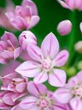 Allium Uniflorum  Close-up of Pink Flower