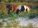 Wild Ponies Graze on Tender Grasses