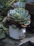 A Sempervivum Succulent Plant Grows in a Tin Mug