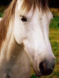 Portrait of Connemara Pony  Connemara  Ireland