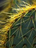 Cactus  Joshua Tree National Park  California  USA