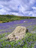 Bluebells in Open Pasture  Halwell Lawn  Devon  UK