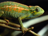 Chameleon  Virunga Volcanoes National Park  Zaire