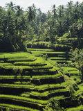 Terraced Rice Fields on Bali Island  Indonesia