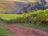 Dirt Road Along Acres of Vines at Knutsen Vineyard in the Willamette Valley  Oregon  USA