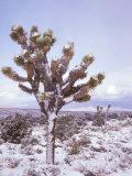 Joshua Trees Grow in the Foothills Leading to Mt Charleston  north of Las Vegas  Nevada  USA