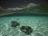 Two Stingrays Cruise the Shallows of the Caribbean Sea
