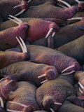 Walruses on the Beach