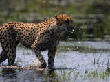 An African Cheetah Cools off in a Grassy Swamp