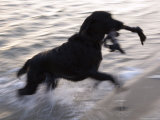 Black Labrador Running on Beach in Cape Cod  United States