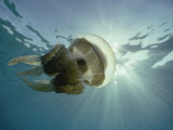 A Papuan Jellyfish Swims in the Ocean
