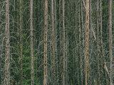 Lodgepole Pine Tree Trunks