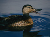 A Duck Swims in the Marshes of the Meadowlands