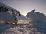 Close View of a Pair of Arctic Hares