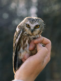 Hand Holding a Northern Saw-Whet Owl Papier Photo par Kenneth Love