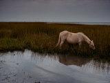 Chincoteague Pony Grazing on Southern Assateague Island
