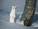 A Long-Tailed Weasel in Winter-White Camouflage Stands in the Snow