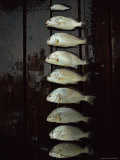 A Days Catch  Including One That Should Have Been Thrown Back  are Lined up on a Wet Dock