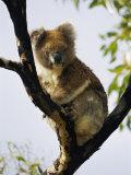 A Koala Bear Sits in a Tree