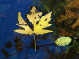 A Big Leaf Maple Leaf Floats Down the Merced River
