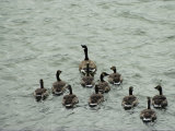 A Canada Goose Leads a Gaggle of Adolescent Geese Through the Water