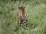 A Siberian Tiger Walks Away from the Camera