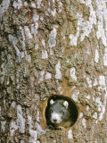 A Squirrel Peers out of a Hole in a Pine Tree