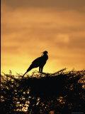 A Secretary Bird on Her Nest