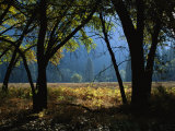 Black Oak Trees Near a Meadow in Yosemite National Park