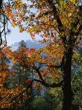 A Black Oak Tree (Quercus Kelloggii) in Yosemite Valley