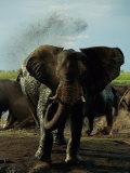 African Elephant Taking a Mud Bath