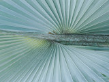 A Close-up of a Brongniartikentia Palm Frond