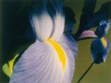 A Close-up of an Iris