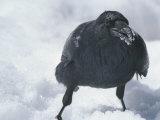A Raven Eats a Mouthful of Snow