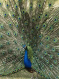 A View of an Indian Peacock with Tail Feathers Spread