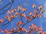 Spring Flowers  Pink Dogwood  Mid-May  Massachusetts