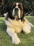 Portrait of a Saint Bernard Dog