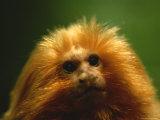 A Portrait of a Golden Lion Tamarin