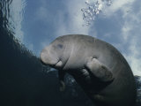 Close View of a Florida Manatee in Floridas Crystal River Papier Photo par Brian J. Skerry