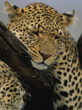 Close View of Leopard Sleeping in Tree