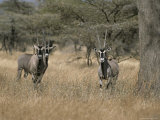 Three Beisa Oryxes in Kenyas Samburu National Game Reserve