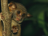 A Tarsier Eating an Insect in a Tree