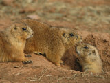 Close View of Three Prairie Dogs at the Entrance to Their Den