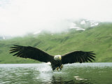 An American Bald Eagle Lunges Toward its Prey Below the Water