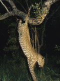 Leopard Bounds from its Perch in a Tree to Hunt for Food