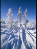 Snow-Blanketed Evergreen Trees in Wapusk National Park