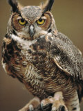 Captive Great Horned Owl