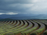 Rows of Lavender Under a Storm Cloud  Tasmania  Australia